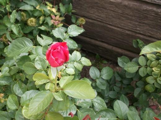 single rose-2